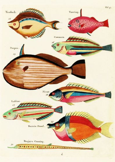 Renard, Louis: Illustrations of Marine Life Found in Moluccas (Indonesia). Art Print/Poster (4970)